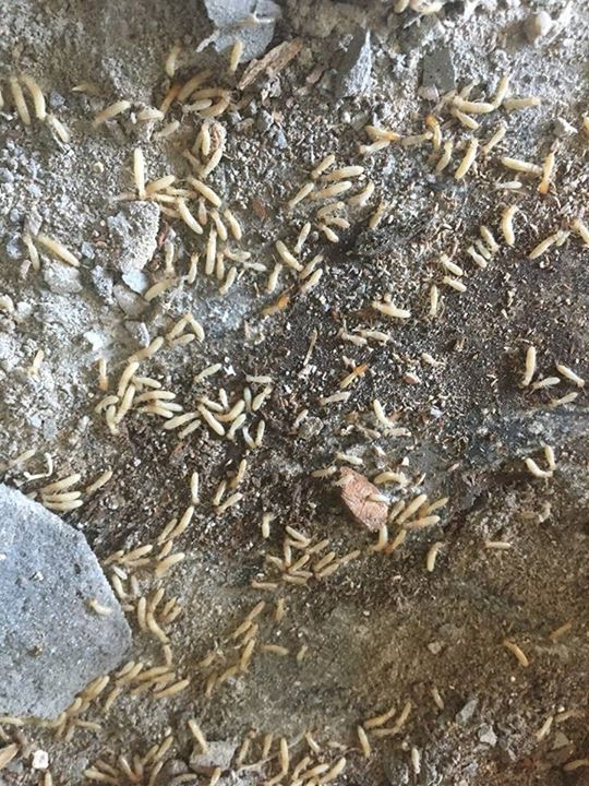 Drywood Termites Eating Wood