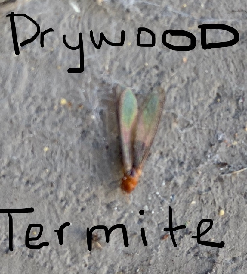 California Drywood Termite With Red Head Flying