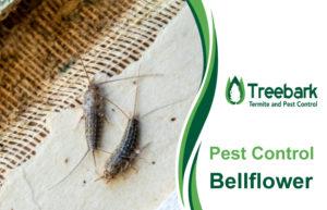 Pest-Control-Bellflower