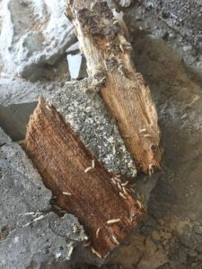 Termites Eating Wood picture