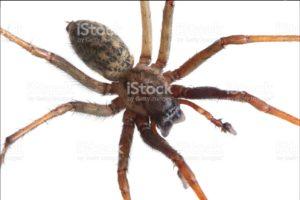 Hobo Spider - Treebark Termite and Pest Control