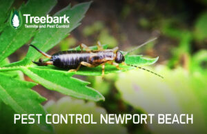 Earwig chilling on a leaf, pest control newport beach in the background