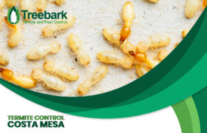 These are termites needing control in Costa Mesa