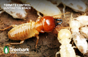 Termite Soldier Protecting the Workers From Termite Control, This is in Huntington Beach